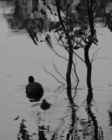 expended: An Eurasian Coot with a young in a pool in black and white