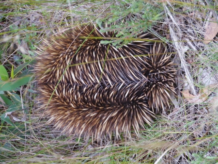 The short-beaked echidna or anteater  Tachyglossus aculeatus  in Australia photo