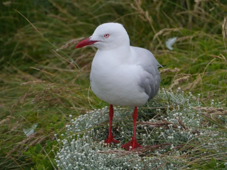 Silver gull  larus novaehollandiae  standing on white flowerson Philip island in Australia photo