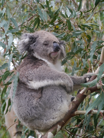 A koala  Phascolarctos cinereus  in an Eucalyptus tree in Australia photo