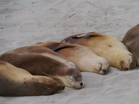 Australian sea lions  Neophoca cinerea  on the beach of Kangaroo island in Australia photo