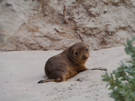 A baby Australian sea lion  Neophoca cinerea  on the beach of Kangaroo island in Australia photo