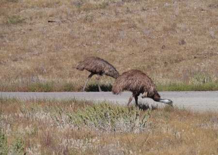 The emu  Dromaius novaehollandiae  walking along a road photo