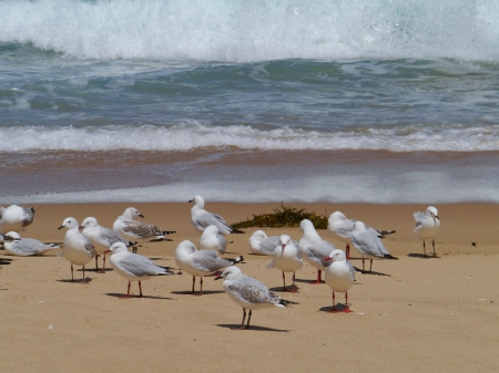 Silver gull  larus novaehollandiae  on the beach in Australia photo