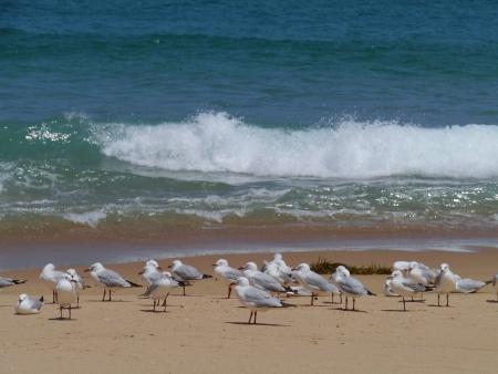 Silver gull  larus novaehollandiae  on the beach in Australia photo
