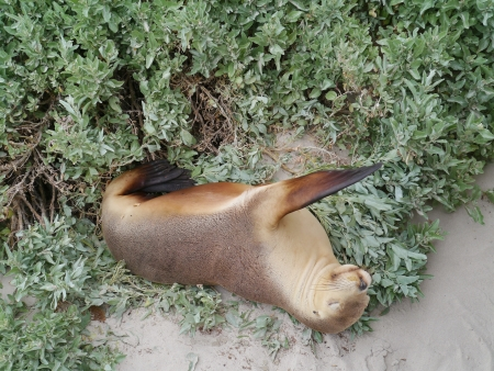 cinerea: Australian sea lion  Neophoca cinerea  on Kangaroo island in Australia