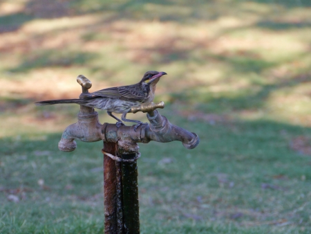 Spiny-cheeked Honeyeater  Acanthagenys rufogularis  on a tap photo