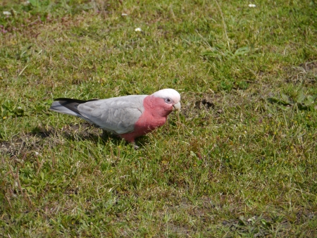cockatoos: Galah  Eolophus roseicapilla , also known as the Rose-breasted Cockatoo, Galah Cockatoo, Roseate Cockatoo or Pink and Grey, is one of the most common cockatoos in Australia