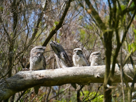 camouflaged: Camouflaged Tawny Frogmouths  Podargus strigoides  blend in with color and texture of the tree bark in Australia