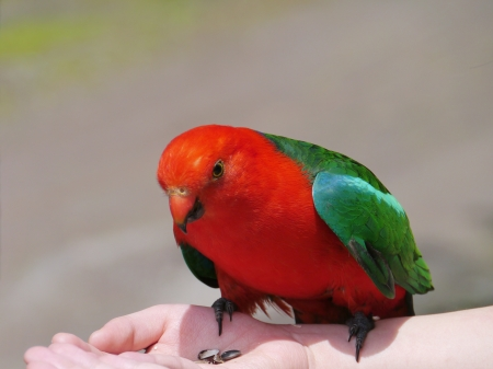 king parrot: A male Australian King Parrot aka muaiz  Alisterus scapularis  is endemic Australia eating out a hand