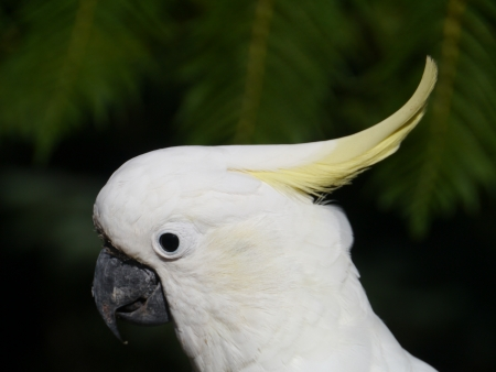 The Sulphur-crested Cockatoo  Cacatua galerita  is a relatively large white cockatoo with a yellow crest in Australia photo