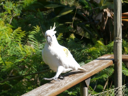 The Sulphur-crested Cockatoo  Cacatua galerita   photo