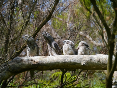 camouflaged: Camouflaged Tawny Frogmouth  Podargus strigoides  family