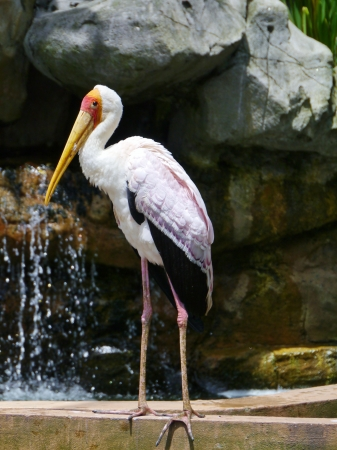 wading: The Milky Stork  Mycteria cinerea  is a large wading bird in Maylasia in Asia