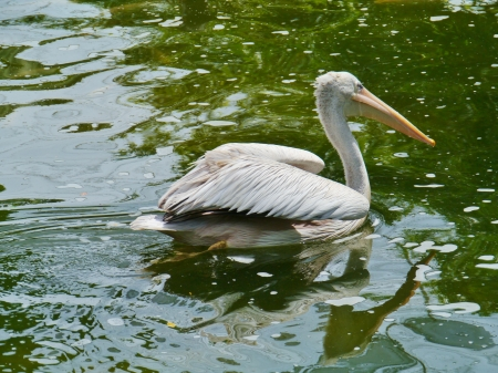 Great White Pelican Pelecanus onocrotalus in Maylasia in Asia photo