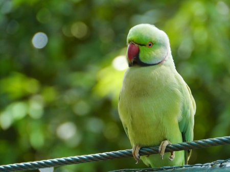 The Rose-ringed Parakeet or Ring-necked Parakeet  Psittacula krameri  Stock Photo