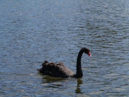 cygnus atratus: A black swan  Cygnus Atratus  swimming in a pool ion Australia