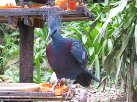 lace like: Victoria Crowned Pigeon  Goura victoria  is a bluish-grey pigeon with elegant blue lace-like crests