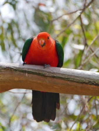 endemic: A male Australian King Parrot aka muaiz  Alisterus scapularis  is endemic Australia