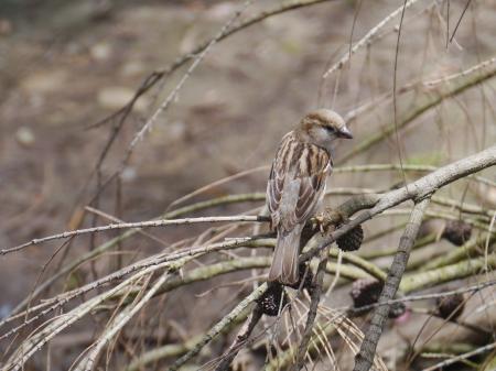A common house sparrow  Passer Domesticus  in Australia Фото со стока - 24816231