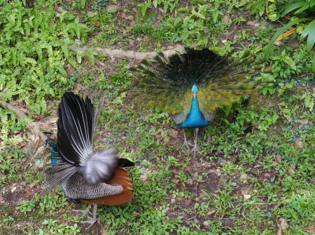 expended: Two indian or blue ribbon peacocks  pavo christatus   Stock Photo