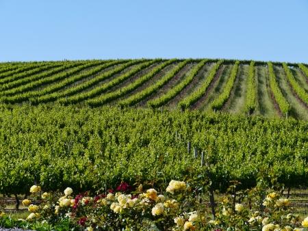 australia farm: A wine vineyard in spring in the Clare valley in south Australia