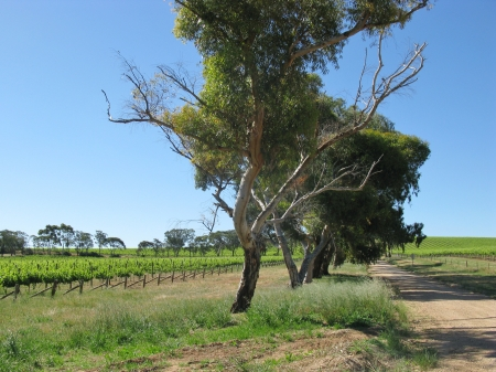 wine road: A wine vineyard in spring in the Clare valley in south Australia with trees along a road