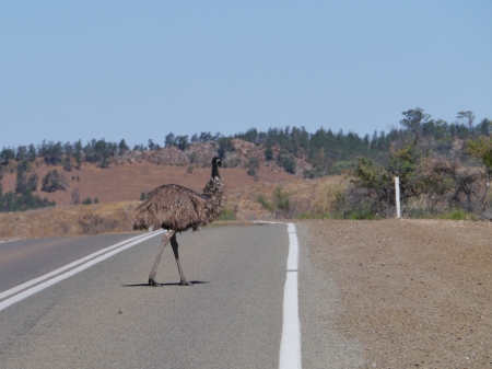 The emu  Dromaius novaehollandiae  traversing a road photo