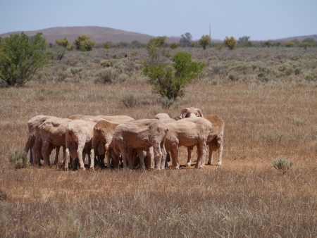stock vista: Australian sheep on the fields of the outback of South Australia Stock Photo
