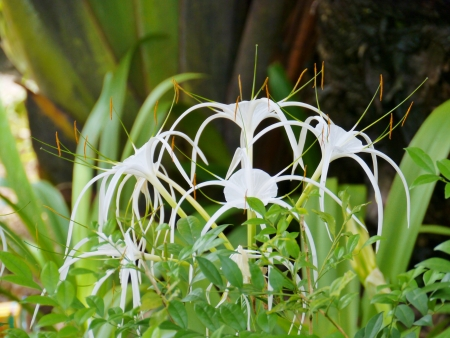 subtropical: A white flowering Crinum plant  found in tropical and subtropical areas