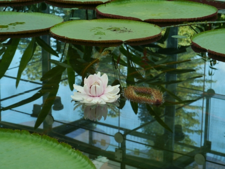 A flowering amazone water lily in Australia photo