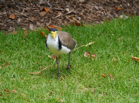 spur winged: Masked Lapwing is native to Australia Stock Photo