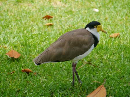 Masked Lapwing is native to Australia Stock Photo