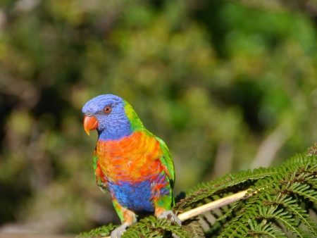 The Rainbow lorikeet is a colourful bird photo