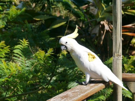 The Australian Sulphur-crested Cockatoo with a tag photo