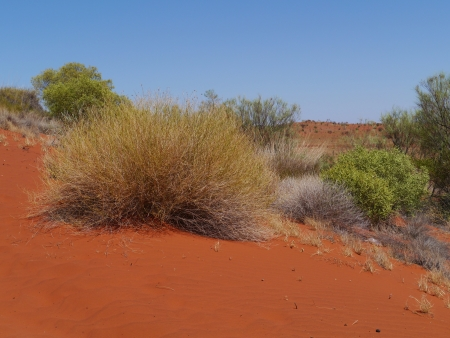 Spinifex on the red earth of the outback in Australia photo