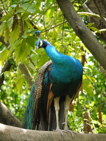 expended: Indian or blue ribbon peacocks  pavo christatus