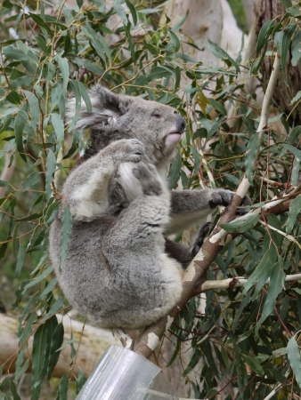 Koala in an Eucalyptus tree in Australia photo