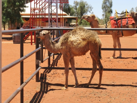 saddle camel: A young camel in a paddock in Australia