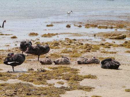 perceptive: Nero famiglia cigno sull'isola di Kangaroo in Australia Archivio Fotografico