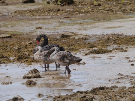 A black swan family on Kangaroo island in Australia photo