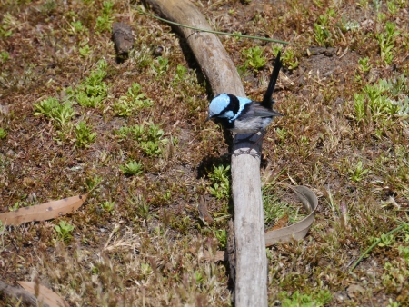 The Australian Superb Fairywren  photo