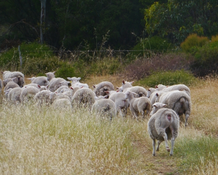 Australian sheep on the way on Kangaroo island photo