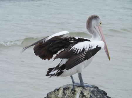 An Australian Pelican  pelecanus conspicillatus   photo