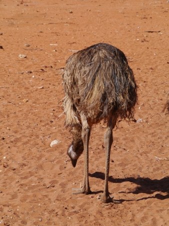 An Australian emu on the red earth of Australia photo
