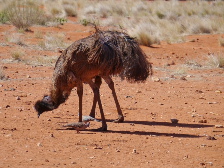 Emus on the red earth of Australia photo