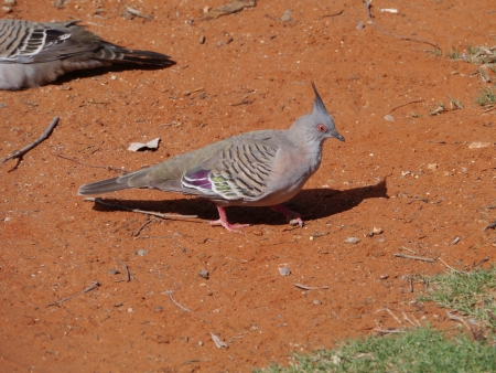 notch: Top Notch Pigeon  in Australia Stock Photo