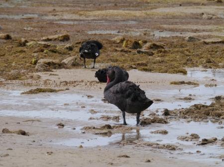 perceptive: Una famiglia cigno nero sull'isola di Kangaroo in Australia