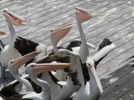 Australian Pelicans on Kangaroo island in Australia photo
