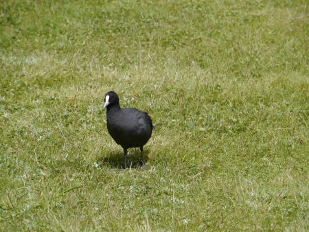 expended: An Eurasian Coot on the grass Stock Photo